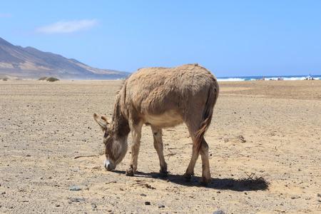 wild donkey: wild donkey in Fuerteventura Beach