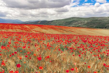 Field of red poppies in spring