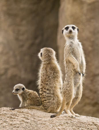 A family of meerkats: father, mother and baby. The meerkat is a small mammal, a member of the mongoose family, inhabiting the region of the Kalahari Desert and Namibia in Africa. photo