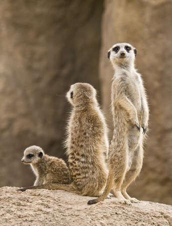 mangosta: Una familia de suricatta: padre, la madre y el beb�. La Suricata es un peque�o mam�fero, un miembro de la familia de la Mangosta, que habitan la regi�n del desierto de Kalahari y Namibia en �frica.