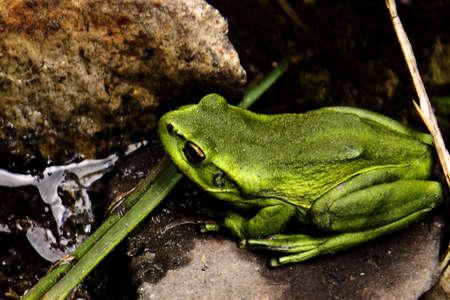 labialis: Andean Frog