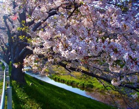 primavera: Sakura �rvore da Primavera Flores
