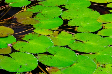Green round lotus leafs in a pond photo