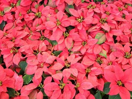 Flor de Pascua Foto de archivo - 20073870