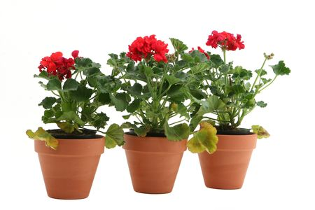 three geraniums isolated