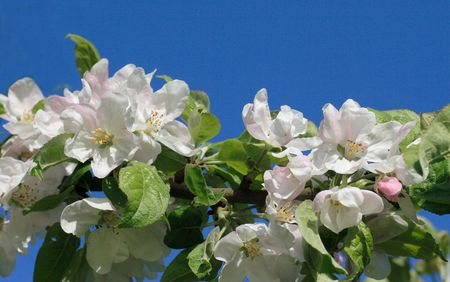 Apple blossom against blue sky Stock Photo