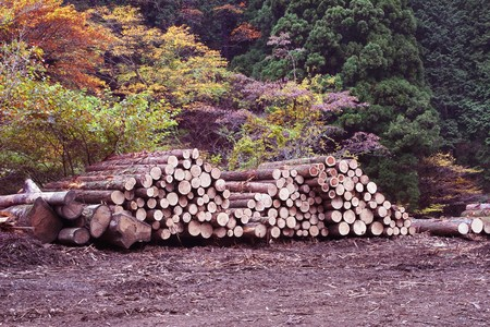 A pile of logs recently harvested photo