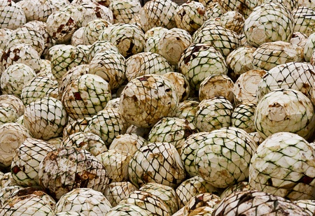 Heads with agave tequila is made 版權商用圖片