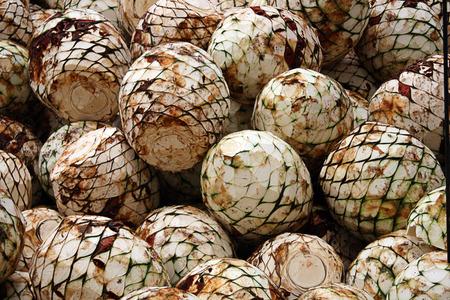 agave: freshly cut agave heads Stock Photo