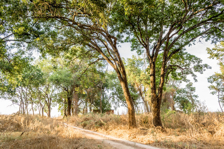 dirtroad: Horizontal photo in color of many tress beside a dirtroad in a sunny day