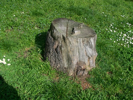 trunk of a half-cut tree with meadow with white daisies flowers Stok Fotoğraf