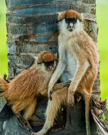patas monkey or Hussar monkey, Erythrocebus pata, Murchison Falls Stockfoto