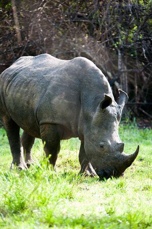 Rhino, Uganda