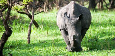 White Rhino, Ziwa Uganda
