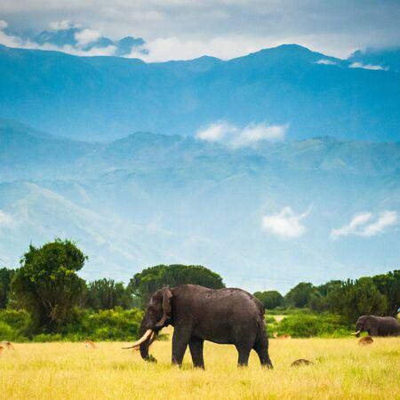 African Elephant, Uganda