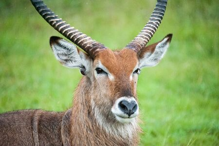 Antelope, Africa, Uganda Stockfoto