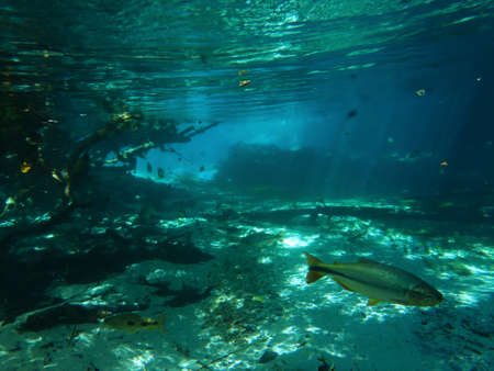 Huge Dourado swimming in the clear waters of Rio triste
