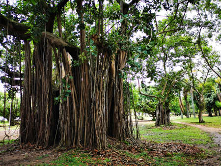 Large fig tree with many supports and branches drooping to the ground