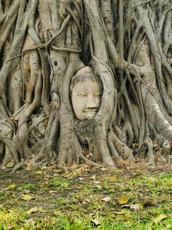 Buddha head with tree grown around it Ayutthaya city, Thailand 版權商用圖片