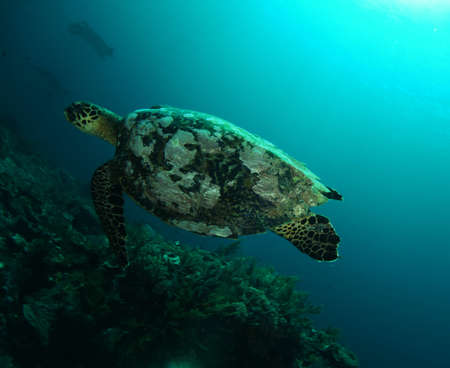 Beautiful photo of hawksbill turtle swimming above the reef, Komodo, Indonesia