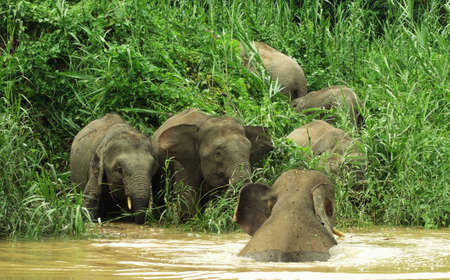 Herd of elephants playing on drinking by the river bank, Kinabatangan, Malaysia Banque d'images