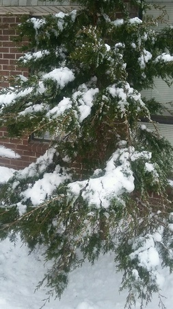 Nice winter day with snow on the pine tree next to a window at the apartment building.