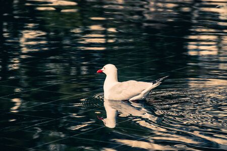 Duck in the water. Duck in the water