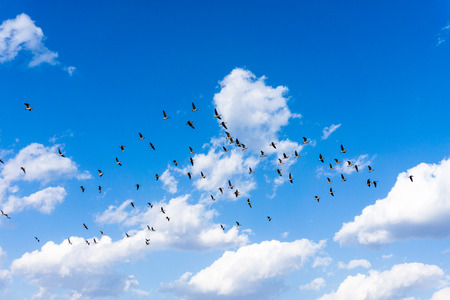 migratory: South Koreas migratory geese