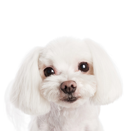 grooming: Cute in front of a white background to Maltese Stock Photo