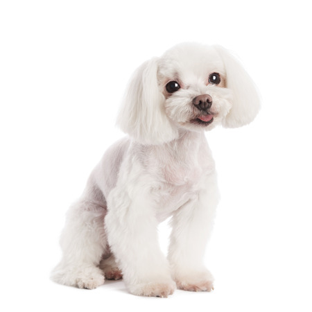 dog grooming: Cute in front of a white background to Maltese Stock Photo