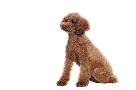 white poodle: Pretty Poodle in front of white Background