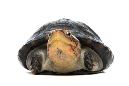 Turtle portrait in gray background Stock Photo