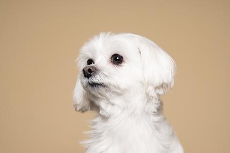 inexpressive: Cute white puppy posing in studio - Maltese dog