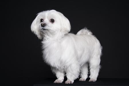 Cute white puppy posing in studio - Maltese dog