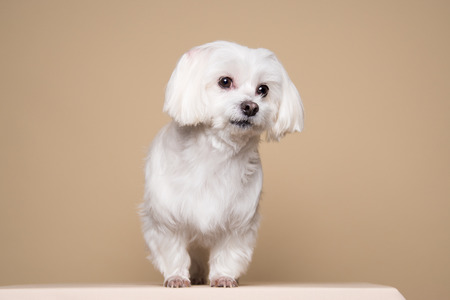 expressionless: Cute white puppy posing in studio - Maltese dog