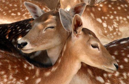 Two deer among many. photo