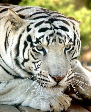 White Tiger  Banque d'images - 360000