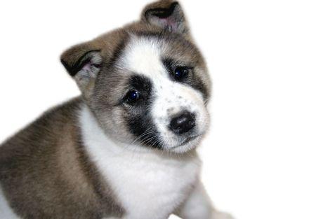 akita: Akita purebred puppy.