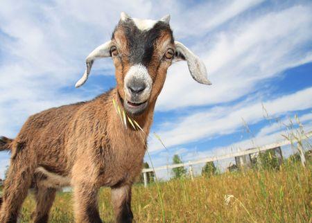 Les jeunes de chèvre dans les pâturages de petite ferme.  Banque d'images - 2997371