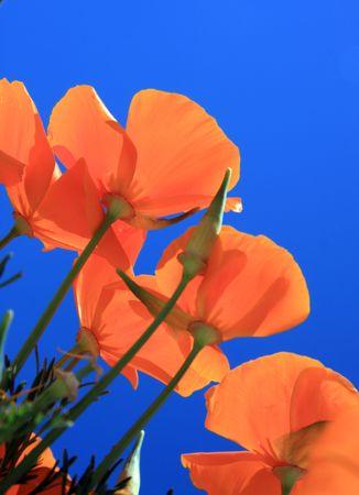 Beautiful orange pavot contre un ciel très bleu.  Banque d'images - 2997366