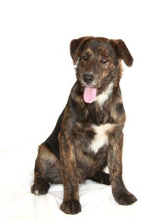 Laboratoire de jeunes cute mix chien sur feuille de toile de fond blanc - ne pas isolé. Banque d'images - 2997365