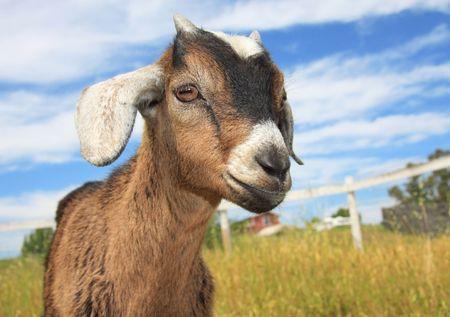 kinder: Very cute marrone e bianco giovani kinder capra in una fattoria. Archivio Fotografico