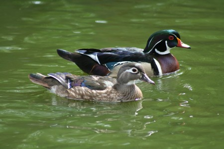 mated: Taken at a small pond in Kansas.  Was used as the basis for an entry into the federal duck stamp contest by artist Judy Yates.  Stock Photo