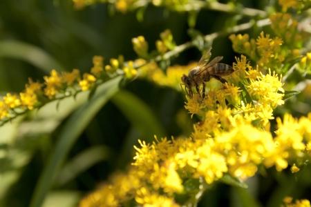 벌꿀을 빨아 먹는 벌