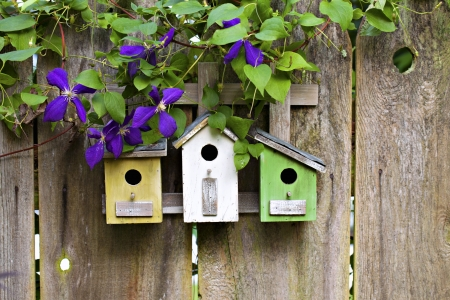 Three cute little birdhouses on rustic wooden fence with purple Clematis plant growing on them photo