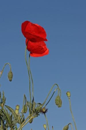 pflanzen: Mohnblume