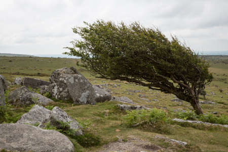 Wind-blown hawthorn tree in Bodmin Moor, Cornwall UK