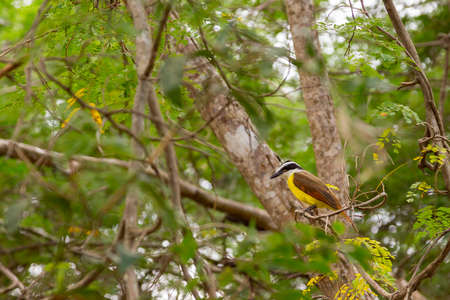 Great Kiskadee Pitangus sulphuratus sitting in a tree in Uxmal, Yucatan, Mexico Stock Photo