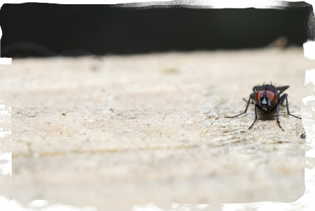 compound eyes: Fly or house fly  Stock Photo