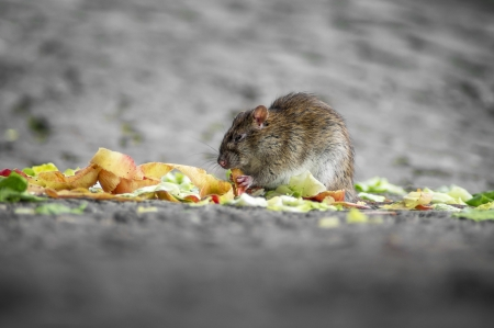 pursued: Close-up of a rat eating the fruit and vegetable